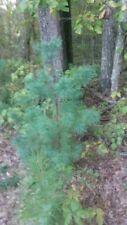 2 Eastern White Pine 'Blue Shag' Pinus strobus 3-4 ft tall live starter trees