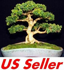 40 Pcs Chinese Boxwood Buxus Microphylla Var Sinica T25, Evergreen Us Seller