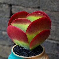Succulent live Plant Echeveria Kalanchoe thyrsifolia Home Garden Rare Flower pot