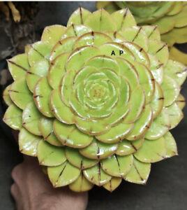 Aeonium vestitum rare M