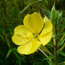 Evening Primrose .... 30 Seeds