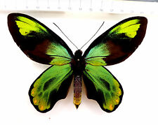 Ornithoptera  victoriae epiphanes M from Makira, South Solomon Islands, K1/3