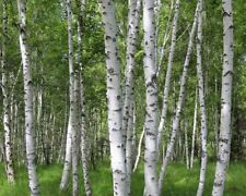 100 EUROPE WHITE BIRCH * TREE SEEDS * WHITE  BIRCH TREE  BONSAI PEALING BARK