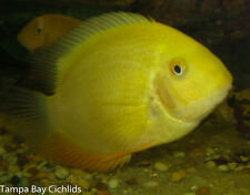 (1) Gold Severum 1.25 inches Live Fish Cichlid Fully Guaranteed