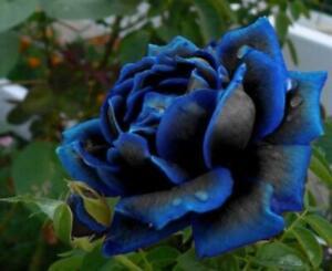 Midnight Supreme Rose Bush 20 or 100 Seeds~Rare-Free Shipping-USA Seller