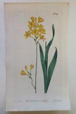 1809 Hand Colored Curtis Botanical Magazine Plate 1173 5x9 Ixia Polystachya
