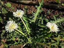New listing White Dandelion (Taraxacum albidium) Seeds (~50): Certified Organic, Non-Gmo