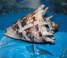 "6"" to 7"" VOLUTA IMPERIALIS SEA SHELL NAUTICAL BEACH DECOR NAUTICAL TROPICAL"