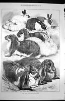 Original Old Antique Print 1872 Prize Rabbits Crystal Palace Show Victorian
