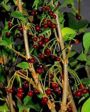 CAPSICUM CILIATUM pure seeds, rare wild chili