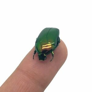 Poecilopharis curtisi Scarab Beetle Insect Specimen Papered Indonesian Taxidermy