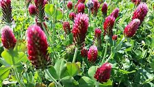 Crimson Clover Seeds - 25gms - Attractive to Bees and other insects
