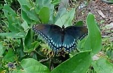 Cynanchum laeve| Sand Vine | Blue Vined Milkweed | 5_Seeds