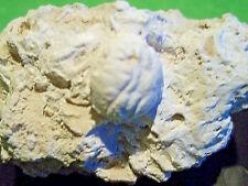 FOSSILE. RARE. DROMIOPSIS RUGANS ( Carapace CRABE ). Danien. Paléocène. DANEMARK