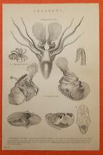 Papierboote  Argonauten Argonauta Kopffüßer Cephalopoda Krake   engraving 1880