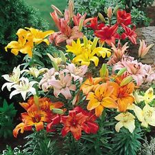 Pack x5 Asiatic Lilies / Lilium Mixed Colours WPC Prins Bulbs Value Pack