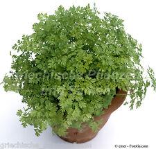 Kerbel medical et Plante Aromatique Herbes 100 graines épice jardin d'herbes