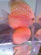 Blue Spotted Snake Skin Discus-Live Tropical Fish Red Tourquise