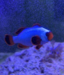 2x (Pair) Thunder Maroon (Nearly All White) Clownfish Marine Fish