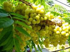 5 Seeds Star Gooseberry, PHYLLANTHUS ACIDUS