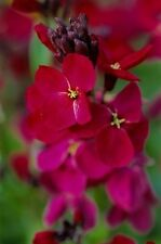 Wallflower Ruby Gem Seed Fragrant Cut Flower Rich Purplish-Red Flower