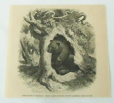 1885 magazine engraving ~ Bear Coming From His Winter Quarters