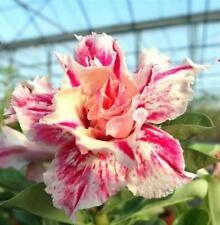 "5 pcs desert rose (adenium obesum) flower bonsai ""Star rain"" seeds #D056"