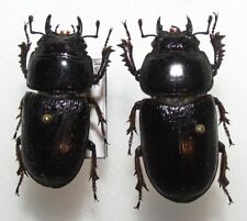 DD23 LUCANIDAE PAIR Dorcus peyronis 25-26mm FROM TURKEY rare