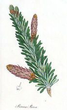 1829 vintage PINE FIR (PINUS PICEA) original painted etching botanical print