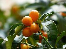 ☺6 graines de kumquat. fortunella margarita