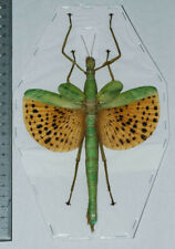 Indonesia Insect Paracyphocrania major - female