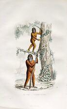 Engraving Mammals the Joko & L'Orangutan