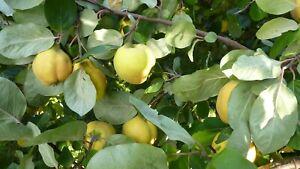 15 kg BIO Quitten Apfel Quitte Obst Saft Quittengelee Quittenlikör