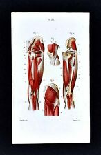 1867 Masse Human Anatomy Print - Leg Muscles Hamstrings Buttocks Thigh Knee