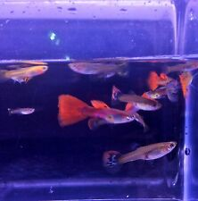 (20) Assorted Fantail Guppy, Swordtail and Guppy  FREE SHIPPING