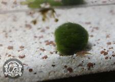 Triops Urzeitkrebse - Cancriformis  - Ø≈50 pure Eier