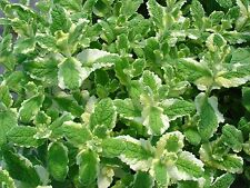 PINEAPPLE MINT  *  1000 SEEDS * RARE  * HERB * MEDICINAL * AROMA *