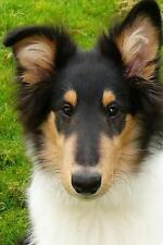 Such a Face! Handsome Collie Puppy Dog Journal : 150 Page Lined.