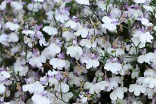 20 compact lobelia seeds Regatta Lilac Splash flower up to 1 month earlier