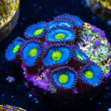 New listing Wwc Aoi Zoas ~ Wysiwyg Live Coral Frag ~ World Wide Corals ~ #61
