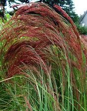 50+ Eragrostis Ruby Silk Ornamental Grass / Perennial/ Thrives In Poor Soils