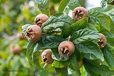 Mispel Mespilus germanica Baum Samen VERSAND FREI !!!
