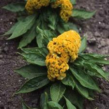 50 Cockscomb Celosia Yellow Seeds GARDEN SEEDS