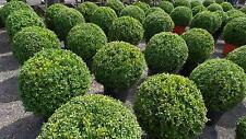 45 - 50 cm Durchmesser, Buchsbaum Buxus Sempervirens Premiumqualität, Bux Kugel