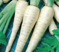 100 Fresh Parsnip Hollow Crown Seeds Free Usa Shipping