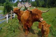 676043 Highland Cattle A4 Photo Print