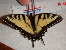 Minature Papilio glaucus Spring Male Tiger Swallowtail Butterfly IN #0848-9