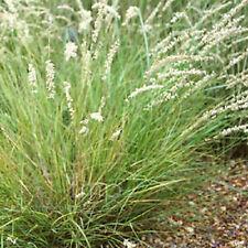 Un 0.3g (ca. 480) Hairy Melic Semi Melica ciliata migliore per giardini Rock