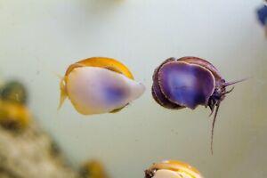 3 x Mystery Snails Mixed Colours, Pomacea bridgesii