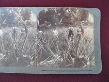 Stereoview Underwood & Underwood Charms Of Porto Rico Pineapples Mayaguez (O)